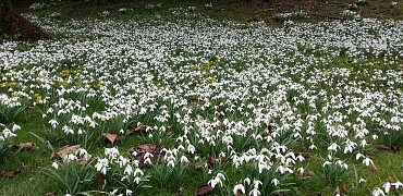 Kennet Valley TR Group visit to Welford Park and the wonderful display of Snowdrops