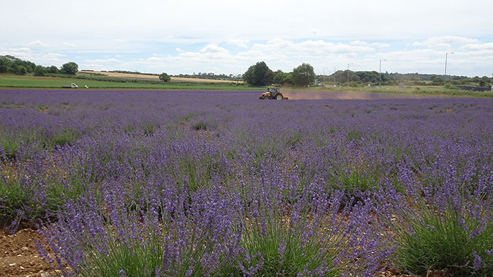 TR Wensum Event - Norfolk Lavender at Heacham Drive Out